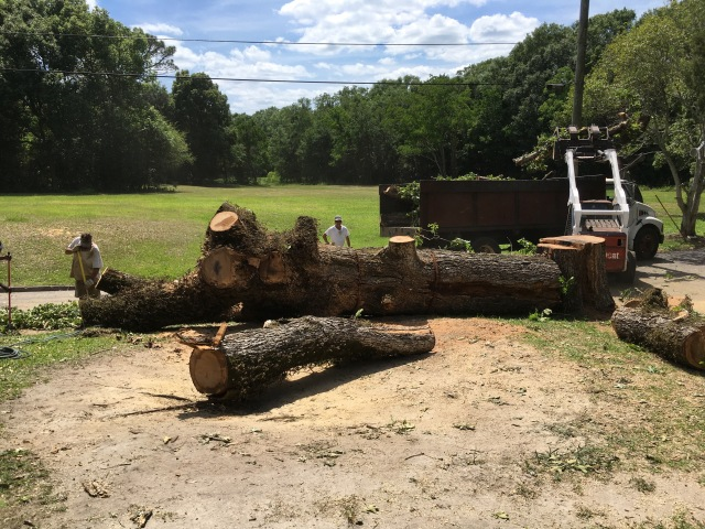 橡树树的死亡